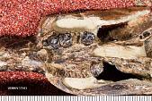 view Ischyrotomus oweni Wood, 1962 digital asset number 1