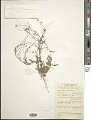 view Blumea integrifolia DC. digital asset number 1