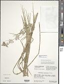 view Rhynchospora jamaicensis Britton digital asset number 1