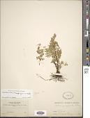view Cheilanthes poeppigiana Mett. ex Kuhn digital asset number 1