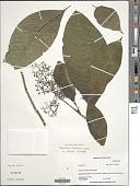 view Psychotria luxurians Rusby digital asset number 1