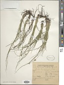 view Carex bonariensis Desf. ex Poir. var. bonariensis digital asset number 1