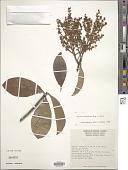 view Ardisia densiflora Krug & Urb. digital asset number 1
