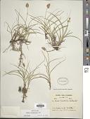 view Carex ecuadorica Kük. digital asset number 1