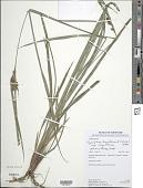 view Hypolytrum longifolium (Rich.) Nees subsp. longifolium digital asset number 1