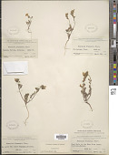 view Phacelia fremontii Torr. digital asset number 1
