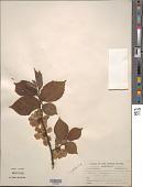 view Ulmus glabra Huds. digital asset number 1