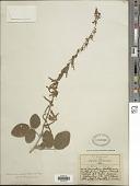 view Desmodium sericophyllum Schltdl. digital asset number 1