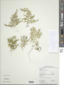 view Selaginella potaroensis Jenman vel aff. digital asset number 1
