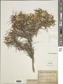 view Astragalus russelii Banks & Sol. digital asset number 1