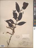 view Loranthus pentapetalus digital asset number 1