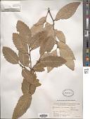 view Quercus incana W. Bartram digital asset number 1