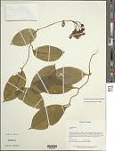 view Bomarea spissiflora Harling & Neuendorf digital asset number 1