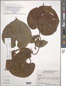 view Dioscorea carpomaculata O. Téllez & B.G. Schub. digital asset number 1
