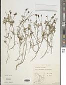 view Astragalus viciifolius DC. digital asset number 1