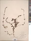 view Veronica serpyllifolia L. digital asset number 1