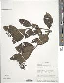 view Palicourea stipularis Benth. digital asset number 1