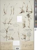 view Carex obtusata Lilj. digital asset number 1