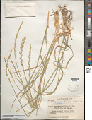 view Thinopyrum intermedium subsp. barbulatum (Schur) Barkworth & D.R. Dewey digital asset number 1