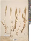view Festuca membranacea Kit. digital asset number 1