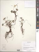 view Fragaria moupinensis (Franch.) Cardot digital asset number 1
