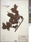 view Psittacanthus schiedeanus (Schltdl. & Cham.) Blume digital asset number 1