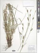 view Carex distans L. digital asset number 1