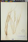view Stipa viridula var. pubescens Vasey digital asset number 1