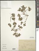 view Viola pubescens Aiton digital asset number 1