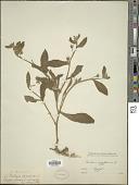 view Anchusa aegyptiaca (L.) A. DC. digital asset number 1