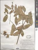 view Cynophalla verrucosa (Jacq.) J. Presl digital asset number 1