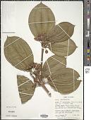 view Blakea punctulata (Triana) Wurdack digital asset number 1