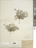 view Astragalus lotiflorus Hook. digital asset number 1
