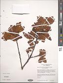 view Hesperomeles lanuginosa Ruiz & Pav. ex Hook. digital asset number 1