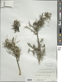 view Lonicera spinosa (Decne.) Jacq. ex Walp. digital asset number 1