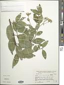 view Clibadium armanii (Balb.) Sch. Bip. & O.E. Schulz digital asset number 1