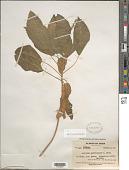 view Acalypha membranacea A. Rich. digital asset number 1