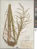 view Glyceria striata (Lam.) Hitchc. digital asset number 1