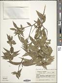 view Psychotria pseudinundata Wernham digital asset number 1
