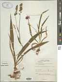 view Lapeyrousia cruenta digital asset number 1