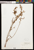 view Piriqueta cistoides subsp. cistoides (L.) Griseb. digital asset number 1