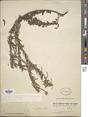 view Macrosiphonia petraea subsp. petraea digital asset number 1