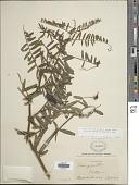 view Vicia nigricans subsp. gigantea Hook. & Arn. digital asset number 1