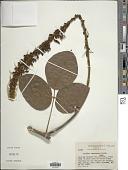 view Dioclea megacarpa Rolfe digital asset number 1