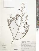 view Chamaecrista ramosa (Vogel) H.S. Irwin & Barneby var. ramosa digital asset number 1