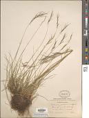view Festuca prolifera (Piper) Fernald digital asset number 1