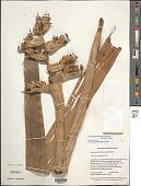 view Mezobromelia pleiosticha (Griseb.) Utley & H. Luther digital asset number 1