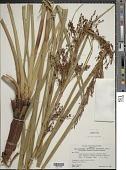 view Lagenocarpus rigidus subsp. tremulus (Nees) T. Koyama & Maguire digital asset number 1