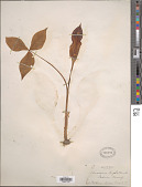view Arisaema triphyllum (L.) Schott digital asset number 1