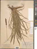 view Sporobolus purpurascens (Sw.) Ham. digital asset number 1